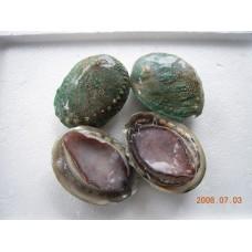 Australian Grrenlip Abalone